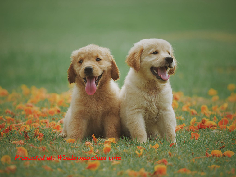 Pet of 5-16-2020, 2 puppies, pexels-photo-1108099 final