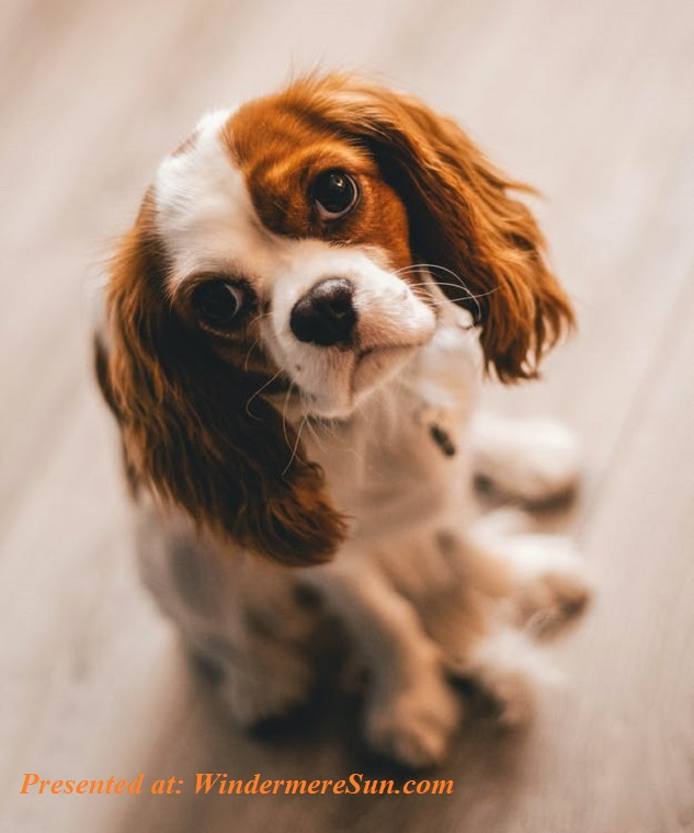 pet of 6-13-2020, puppy with darling eyes, pexels-photo-1390361 final