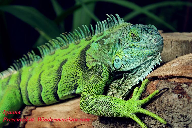 Iguana, pexels-photo final