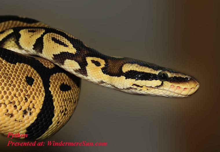 python, snake-ball-python-python-regius-beauty-53140 final